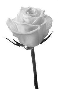 Rouw roos wit klein